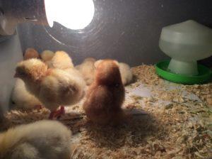 Groovy Chicks in School
